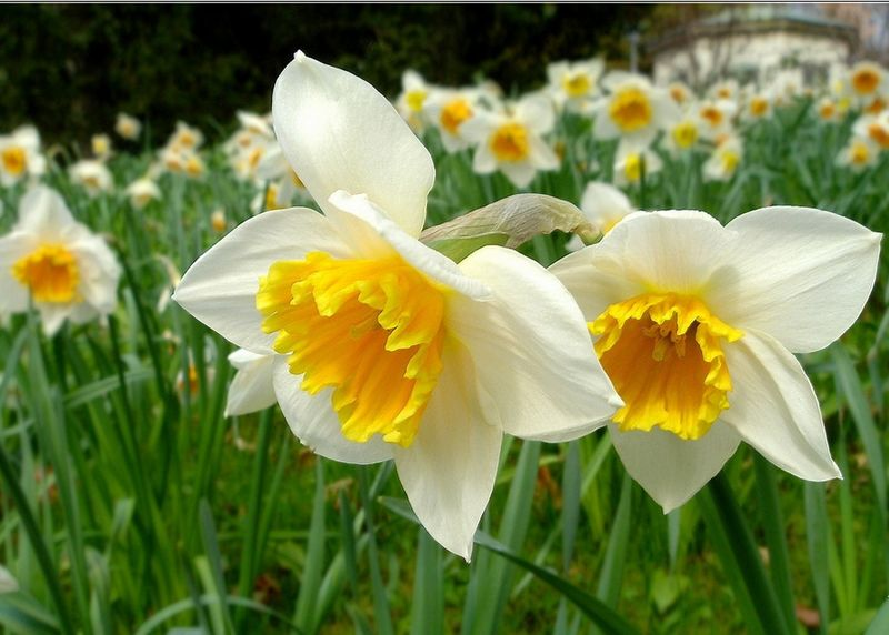 Jonquilles-blanches